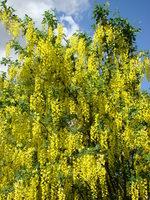 Drzewo z żółtymi kwiatami