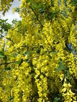 Drzewo złoty deszcz