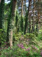 Dziki bluszcz na drzewach