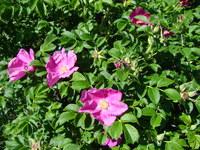 Fioletowe róże francuskie