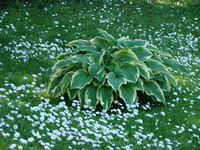 Funkia na trawniku kwiatowym