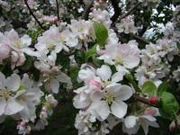 Gałązka jabłoni