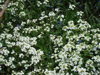 Gęsiówka kwiaty
