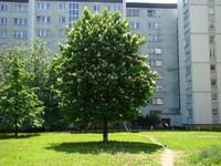 Kasztan drzewo