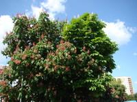 Kasztanowiec drzewo