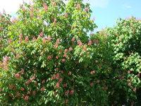 Kasztanowiec ogrodowy