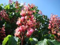Kasztanowiec roślina
