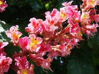 Kasztanowiec różowy