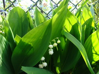 Konwalie kwitną