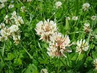 Kwiaty białej koniczyny