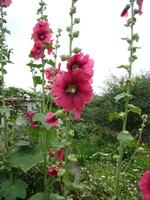 Kwiaty działkowe malwa