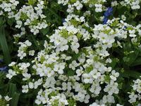 Kwiaty gęsiówki