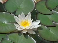 Kwiaty lilii wodnych