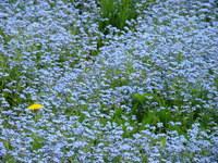 Kwiaty niezapominajki