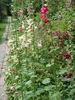 Kwiaty polskie malwa