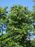 Kwitnące akacje