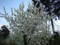 Kwitnące drzewo czereśni