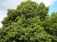 Lipa drobnolistna zdjęcie