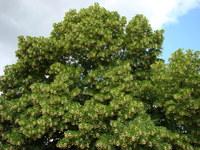 Lipa drzewo