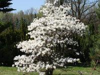 Magnolia ogród botaniczny