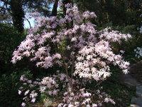 Magnolia w parku