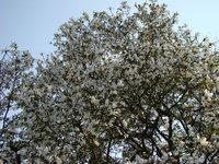 Magnolia wielka