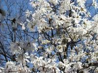 Magnolia wielokwiatowa