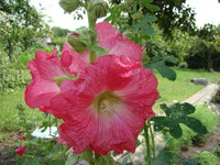 Malwa roślina