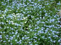 Niezapominajka kwiaty