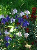 Orliki kwiaty