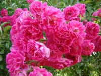 Pędy kwiatowe róży