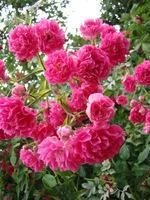 Pędy róży