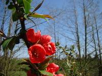 Pigwa drzewko