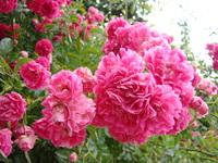 Różane kwiaty