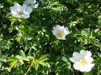 Róże hodowlane
