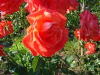 Róże klasyczne