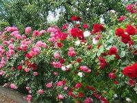 Róże odmiany