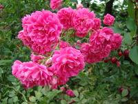 Różowe kwiaty róż