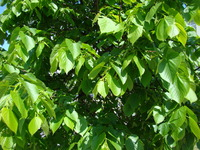 Wiosenne liście