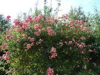 Wysoki krzew róży
