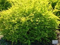 Zielony krzew ogrodowy