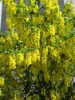 Złoty deszcz krzew