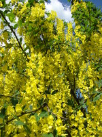 Złoty deszcz kwiaty