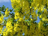 Złoty deszcz roślina