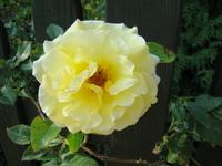 Żółta róża pnąca