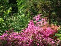 Azalie ogród botaniczny