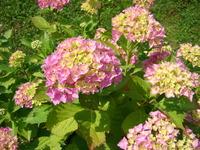 Hortensja kwiaty