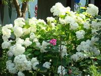 Hortensja wielkokwiatowa