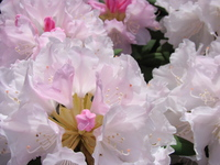 Kwiaty azalii