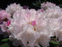 Rhododendron biały
